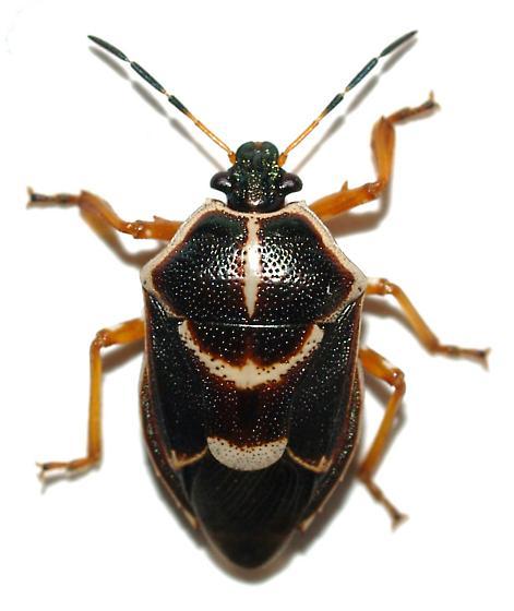 Predatory Pentatomid? - Oplomus dichrous