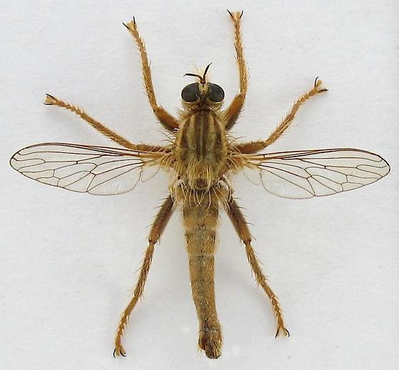 Robber Fly - Stenopogon breviusculus - male