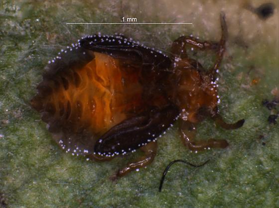 Late stage juvenile lerp dweller - Glycaspis brimblecombei