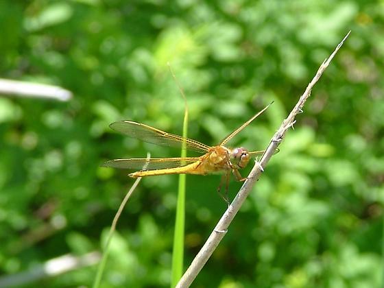 golden ode - Libellula needhami - male