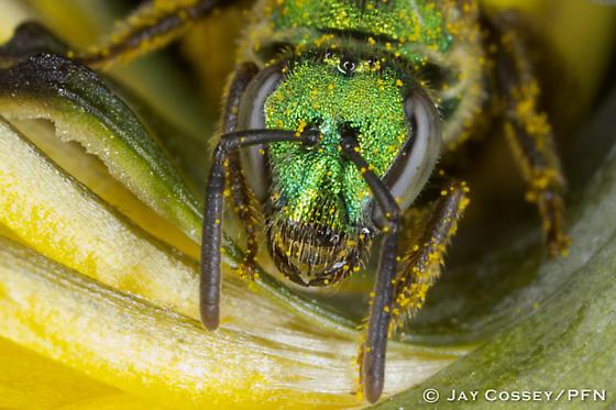 Green Halictid? - Augochlorella aurata