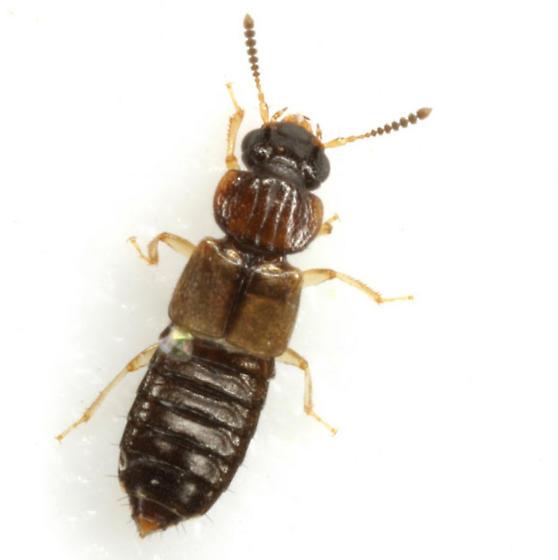 Anotylus insignitus (Gravenhorst) - Anotylus insignitus - female