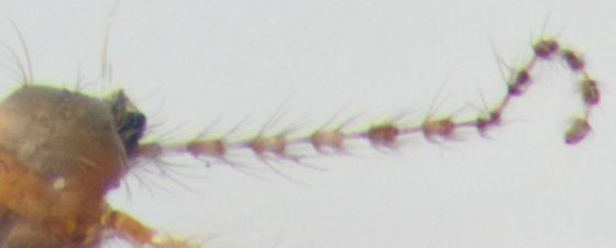 Cecidomyiidae, antenna - male
