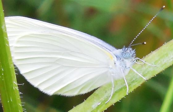 White Butterfly Identification - Pieris oleracea