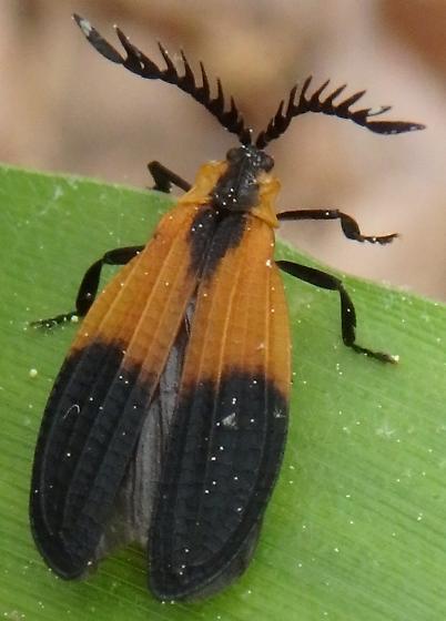 Beetle - Caenia dimidiata