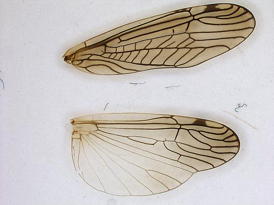 Wing venation - Megaleuctra - female