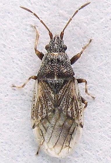 Small Bug - Crophius disconotus