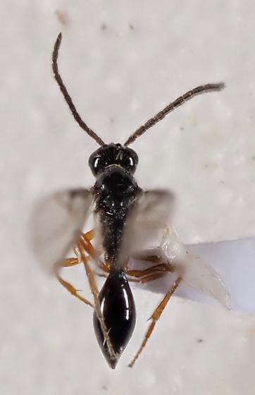 Hymenopteran - Disogmus