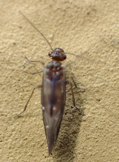 Elipsocus - E. hyalinus teneral? - Elipsocus hyalinus