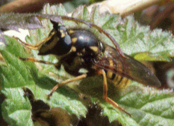 Hover Fly? - Sphecomyia occidentalis