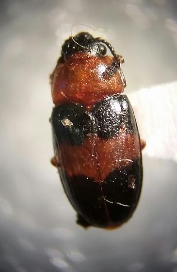 Endomychidae beetle? - Triplax festiva