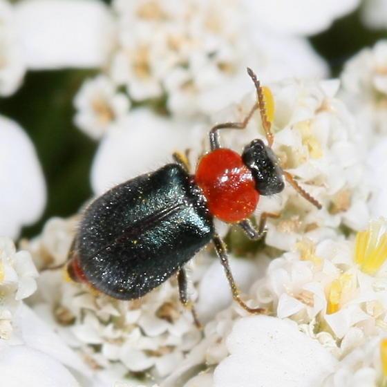 beetle - Collops tricolor