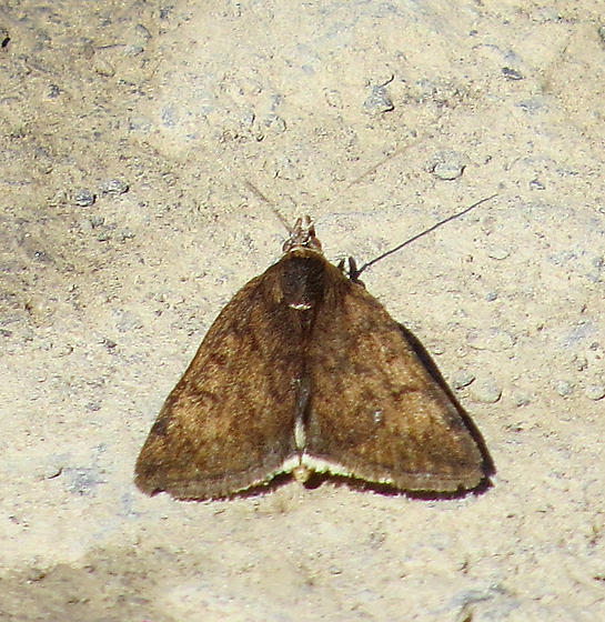 Unknown Moth (Pyralid)? - Loxostege thallophilalis