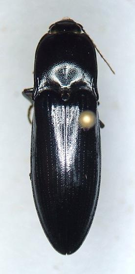 Melanactes sp. - Melanactes - female