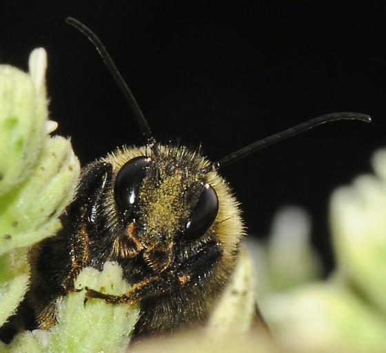 Golden Northern Bumblee or Long Horned Bee? - Bombus pensylvanicus