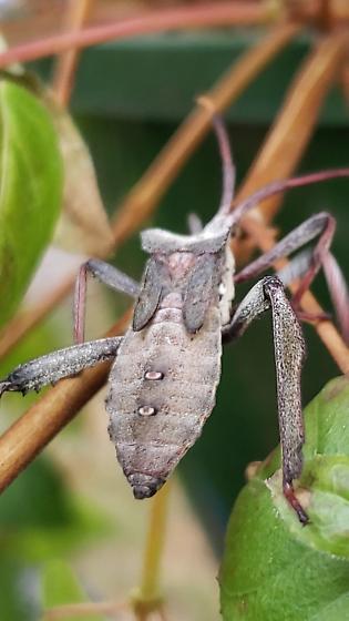 Eastern Leaf-footed Bug - Acanthocephala declivis
