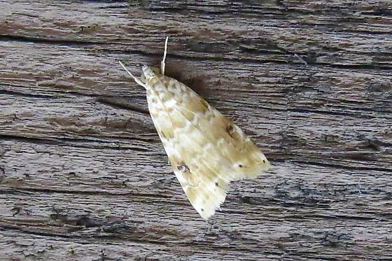 Hellula phidilealis – Cabbage Budworm Moth - Hellula phidilealis