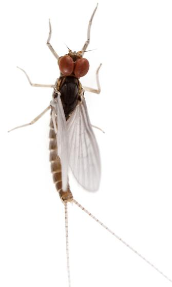 Baetidae? - Anafroptilum