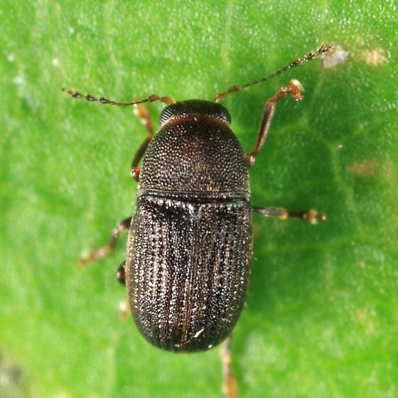 Anthribidae - Choragus zimmermanni