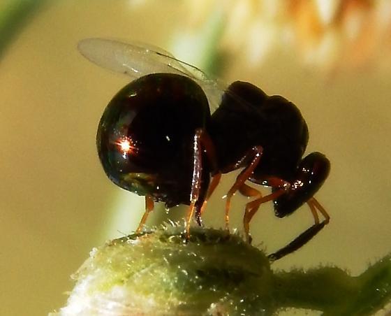 Chalcid wasp? - Orasema