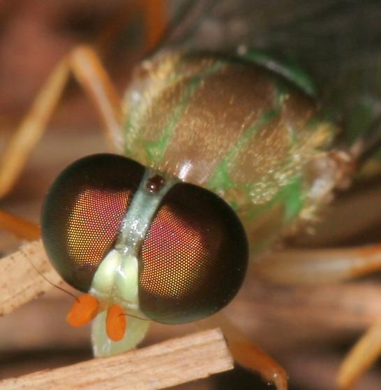 Green Fly - Ptecticus trivittatus
