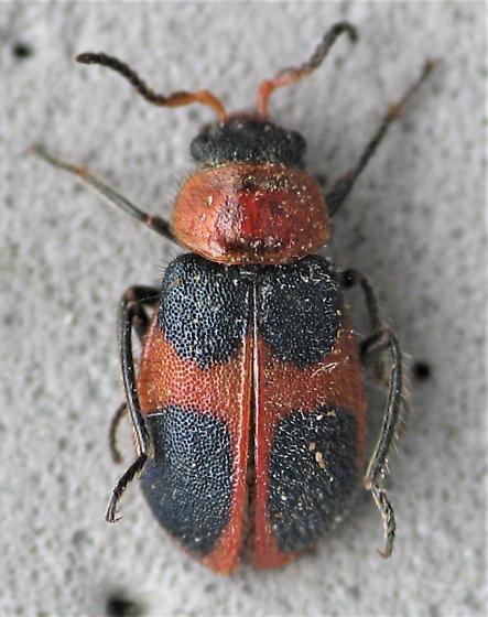 quadrimaculatus or histrio? - Collops