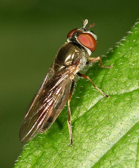 fly - Platycheirus