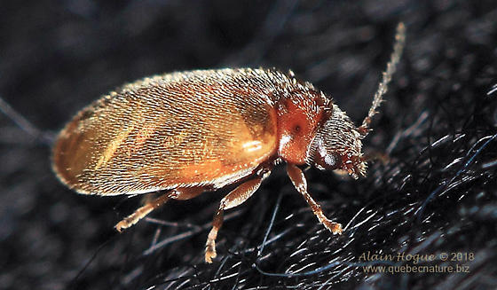 Coleoptera - Contacyphon