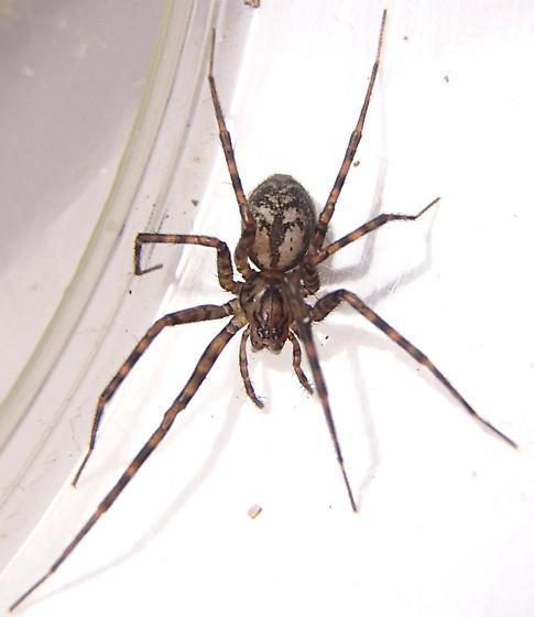 Calymmaria persica - female