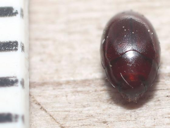 Histeridae? - Hypodacne punctata