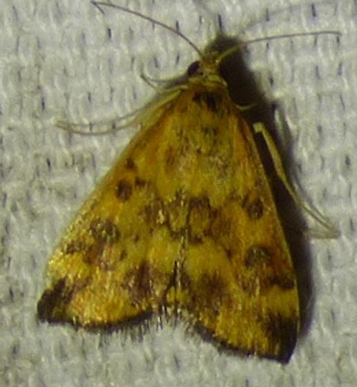 Pyrausta subsequalis