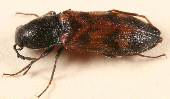 Click Beetle - Pseudanostirus triundulatus