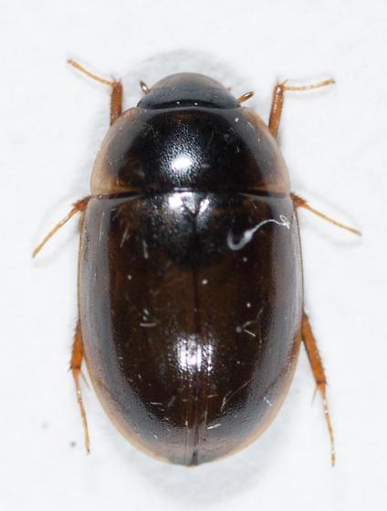Hydrophilidae - Enochrus hamiltoni