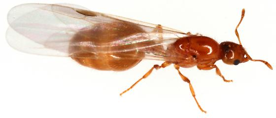 Reproductive ant. Female? - Solenopsis