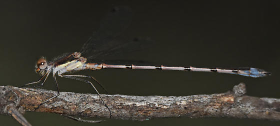 Spotted Spreadwing - Lestes congener - female