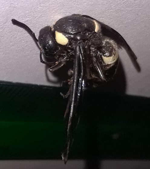 Monobia quadridens (?) female (?) - Monobia quadridens