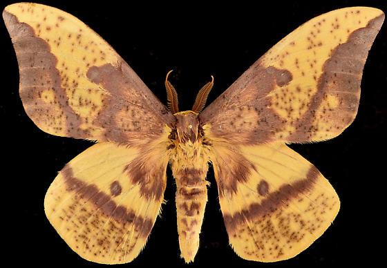 Moth, dorsal - Eacles oslari - male