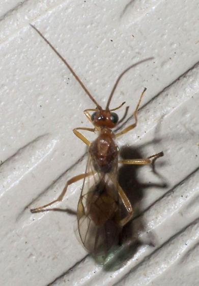 Dark-shouldered wasp - Meteorus