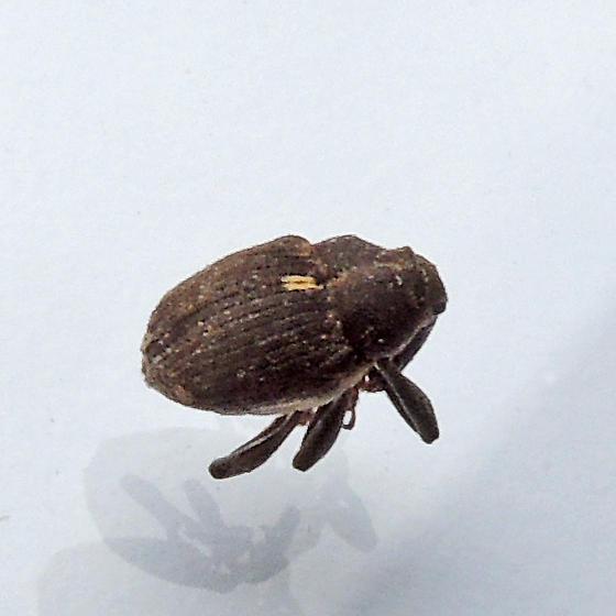 minute seed weevil - Glocianus punctiger