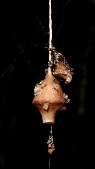 Spider, with egg sac - Neospintharus trigonum - female