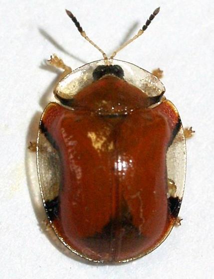 Orange tortoise beetle - Charidotella emarginata