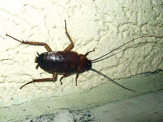 farmapest yavru hamamböceği resimleri ile ilgili görsel sonucu