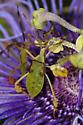 Leaf footed bug? - Chondrocera laticornis