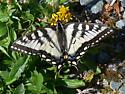 NOT Tiger Swallowtail (Pterourus glaucus) ? - Papilio canadensis - female