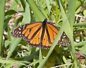 Monarch in April - Danaus plexippus - male