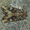 Yellow-headed cutworm - Apamea amputatrix