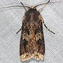 moth - Agrotis