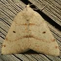 Moth - Chloraspilates bicoloraria - female