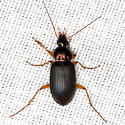 Ground Beetle - Chlaenius tricolor - male