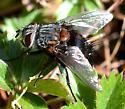 Fly species ? - Leschenaultia